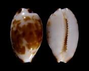 Bistolida goodallii fuscomaculata