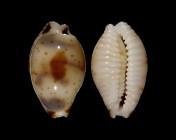 Bistolida ursellus f. amoeba