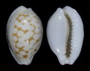 Cribrarula melwardi