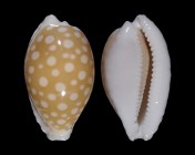Cribrarula fallax antonellae