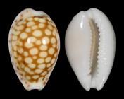 Cribrarula comma toliariensis