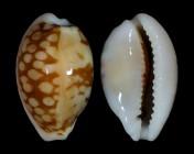 Cribrarula comma f. toliaraensis