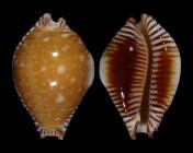 Perisserosa guttata guttata f. bicallosa