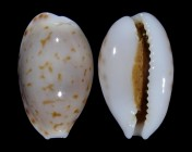 Cribrarula pellisserpentis