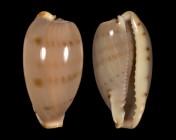 Erronea rabaulensis