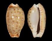 Naria macandrewi