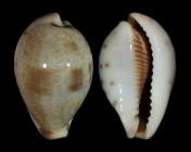 Erronea pyriformis f. smithi
