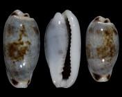 Erronea cylindrica sowerbyana