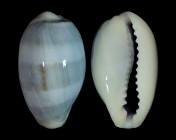 Erronea errones coxi f. azurea