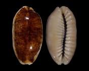 Erronea caurica caurica f. longior