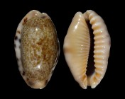 Erronea caurica dracaena f. corrosa