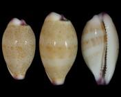 Purpuradusta microdon microdon