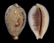 Ficadusta pulchella aliguayensis