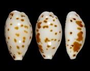 Ransoniella punctata punctata f. iredalei