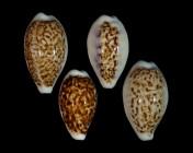Eclogavena coxeni coxeni