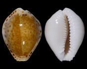 Naria acicularis acicularis var. marcuscoltroi