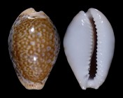 Naria acicularis sanctaehelenae