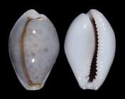 Naria boivinii f. cuatoni