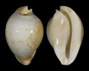 Umbilia armeniaca armeniaca