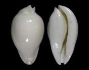 Umbilia hesitata f. howelli