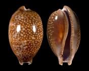 Macrocypraea cervus