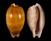 Macrocypraea cervus cervus