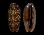 Macrocypraea cervinetta cervinetta