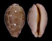 Leporicypraea geographica geographica