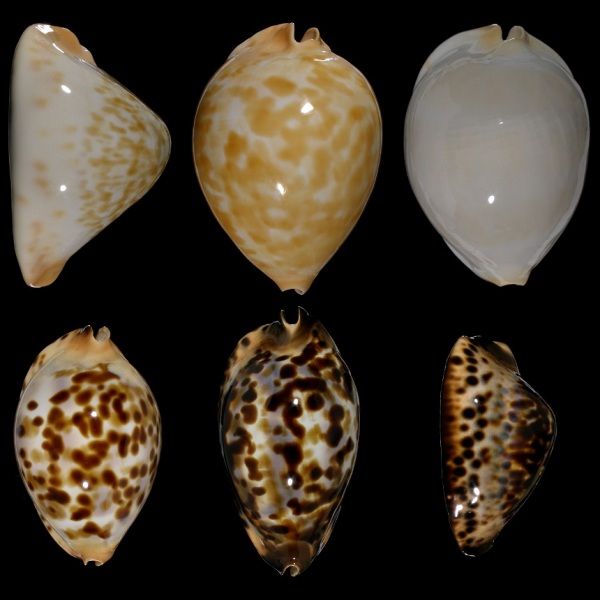 Photo of selected Z. jeaniana specimens