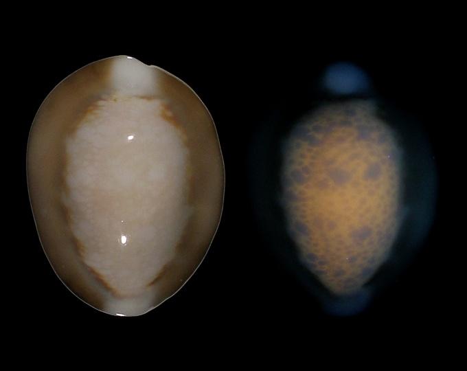 Image of Monetaria caputserpentis f. argentata fluorescent under UV light