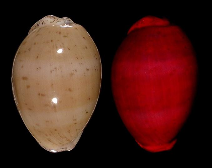 Image of Luria cinerea cinerea fluorescent under UV light