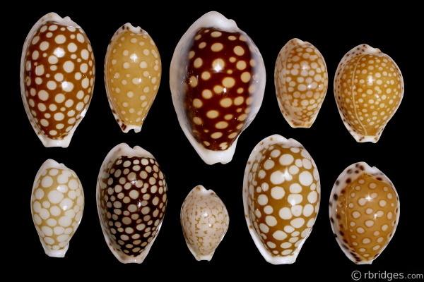 Photo of species in the Cribrarula genus