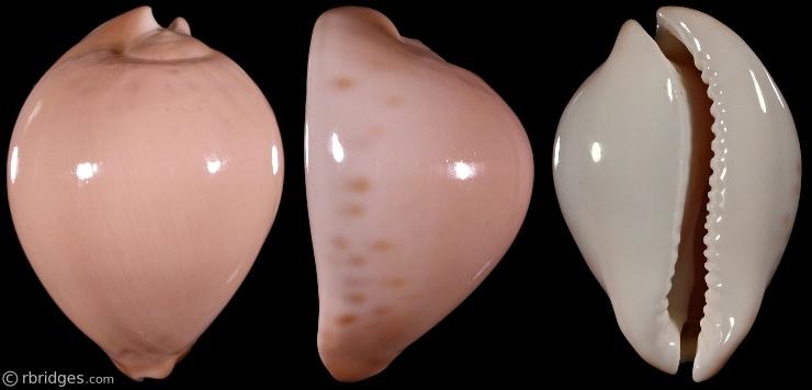 Picture of Zoila venustaroseopunctata f. profunda
