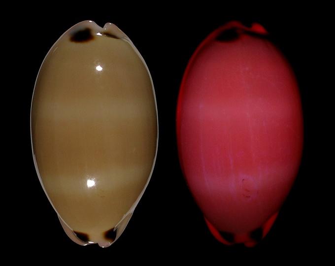 Image of Luria pulchra pulchra fluorescent under UV light