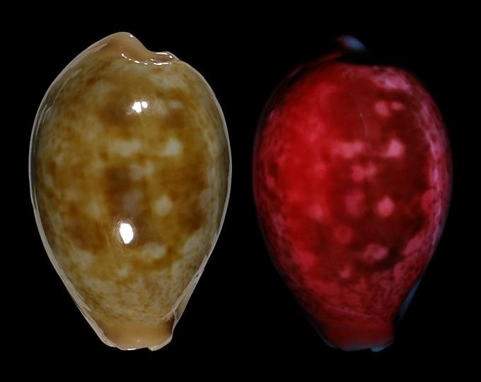 Image of Erronea subviridis subviridis fluorescent under UV light