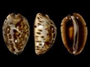 Z. jeaniana sherylae from