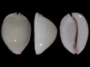 Z. jeaniana aurata from
