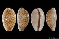 Cribrarula esontropia cribellum from St. Rose, Reunion