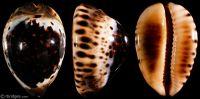 Zoila eludens eludens from Exmouth Gulf, Western Australia