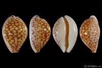 Cribrarula esontropia esontropia from Mauritius