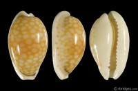 Cribrarula esontropia esontropia from Mauritius (subfossil)