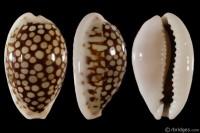 Cribrarula esontropia francescoi from Nacala, Mozambique