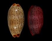Luria isabellamexicana