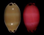 Luria pulchra pulchra