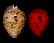 Zoila venusta roseopunctata