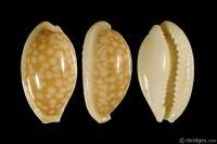 Cribrarula cribraria cribraria from Sri Lanka (subfossil)
