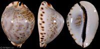 Zoila friendii vercoi f. lentiginosa from Coffin Island, Western Australia