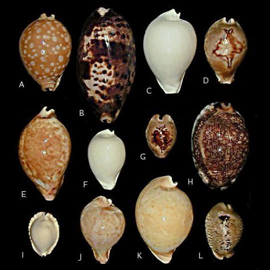Classic Cowries