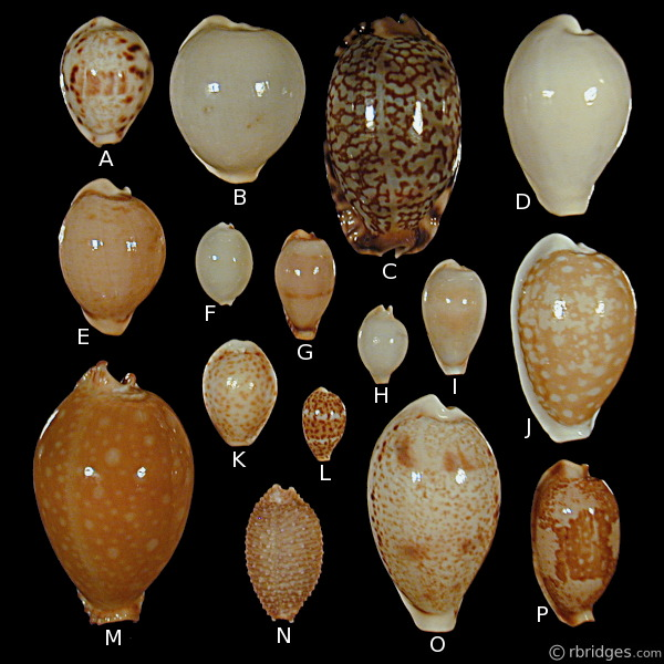 More rare Cowries